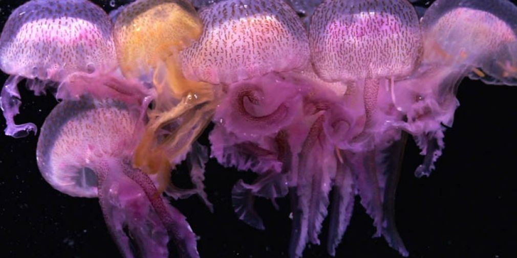 La Pelagia noctiluca, une « méduse itinérante » du littoral azuréen qui contribue à l'équilibre de l'écosystème marin.