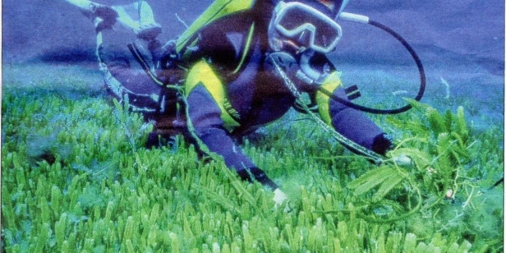 Ostréopsis : l'été de tous les dangers ?
