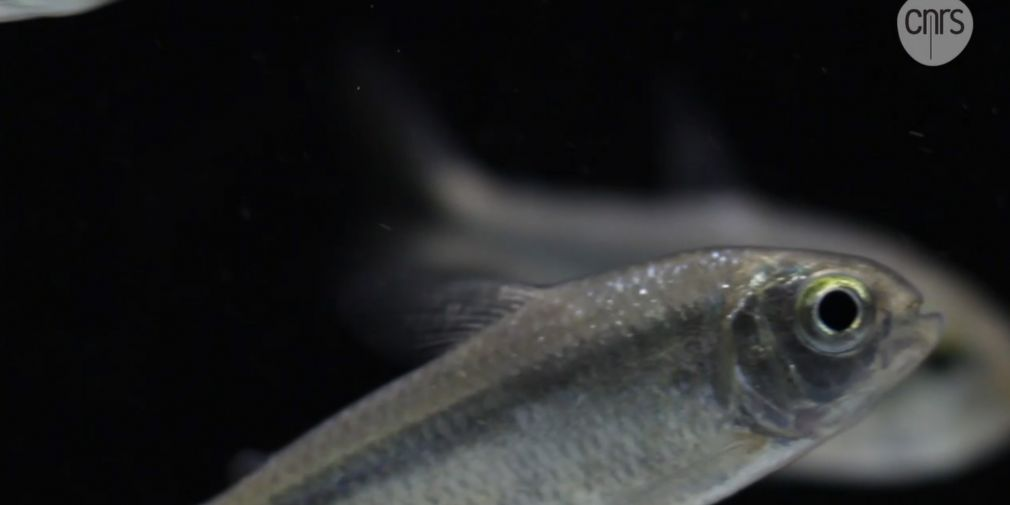 "Seminar : ""Evolution of the olfactory system in blind cavefish"""