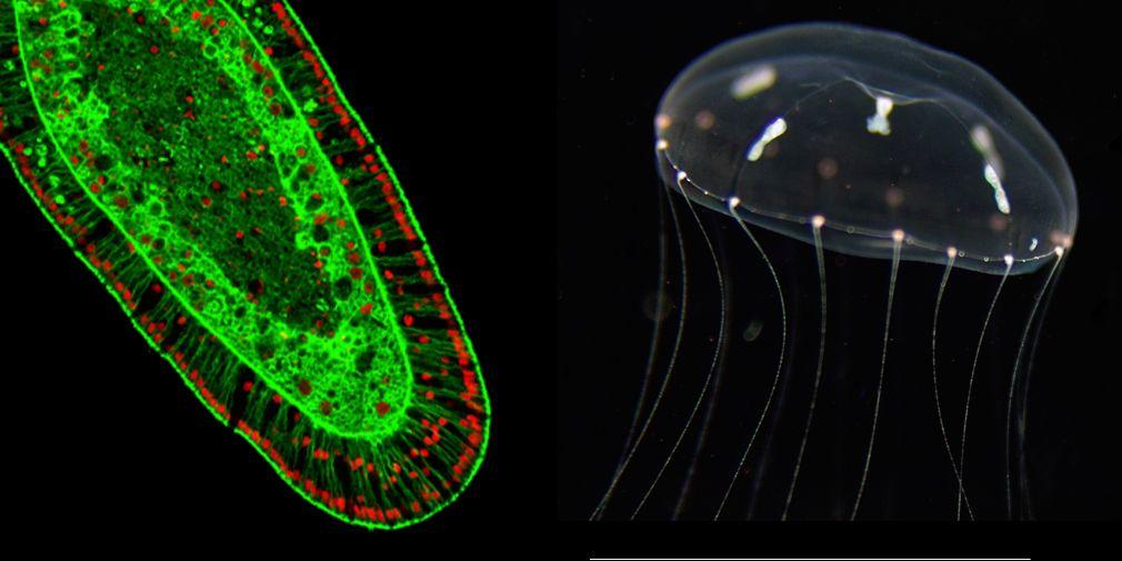 Pour en savoir plus sur les hydrozoaires...
