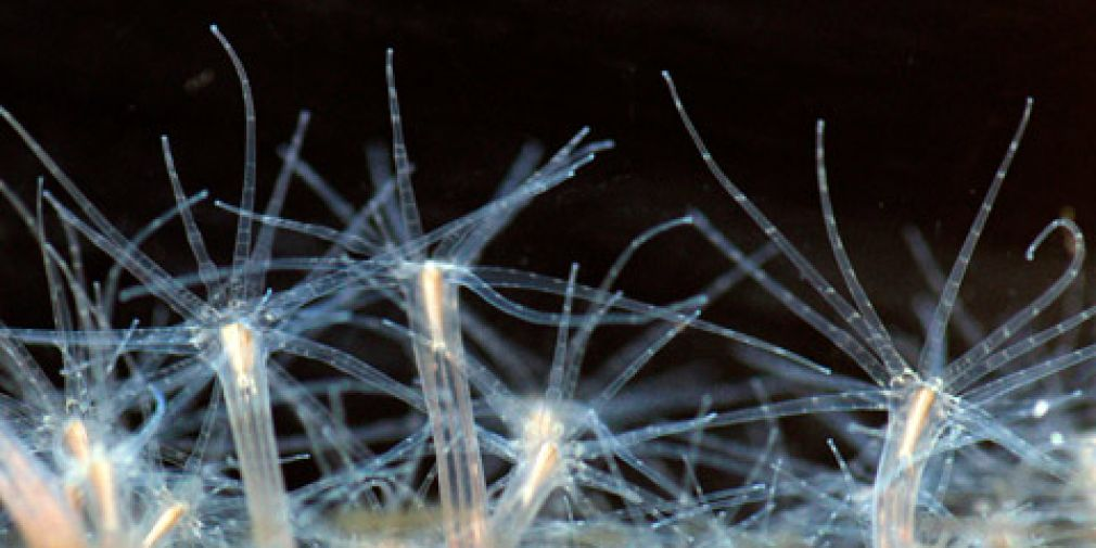 SEMINAR : Germ layer evolution: A common origin of cnidarian and bilaterian endoderm?