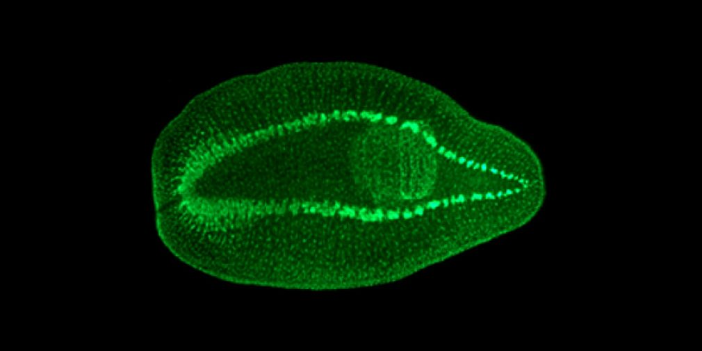 Planarians as a model to study stem cell-based regeneration: the case of the gut lineage