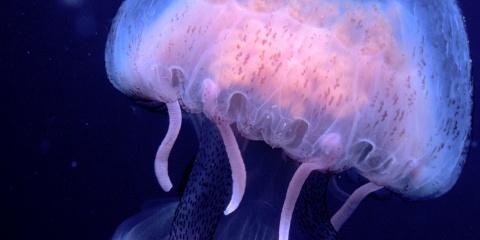 Fabien Lombard s'exprime sur les méduses
