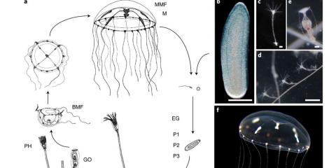 Les méduses : un bagage génétique surprenant