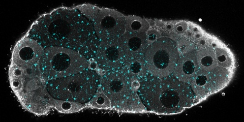 De la lumière sur la régulation de la maturation ovocytaire et  la ponte des méduses