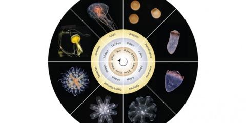 Un nouveau dispositif pour l'évelage de la méduse Pelagia noctiluca
