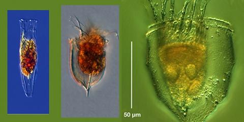 Les tintinnides polaires : ces stars planctoniques en manque de doublures